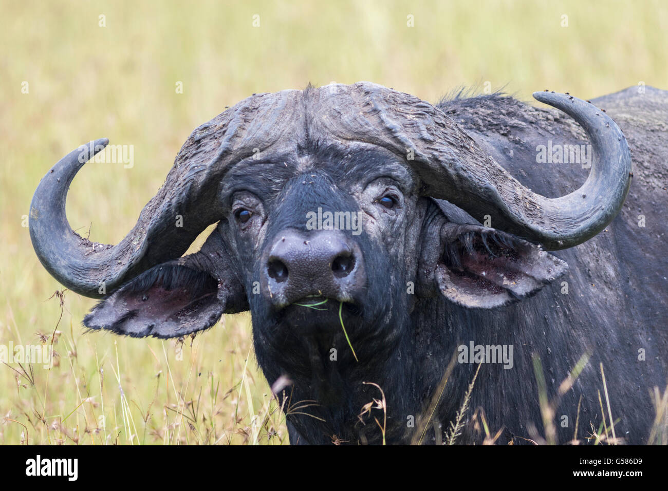 Portrait of a big Buffalo, with grass in his mouth, looking in to the camera, Masai Mara, Kenya, Africa, - Stock Image