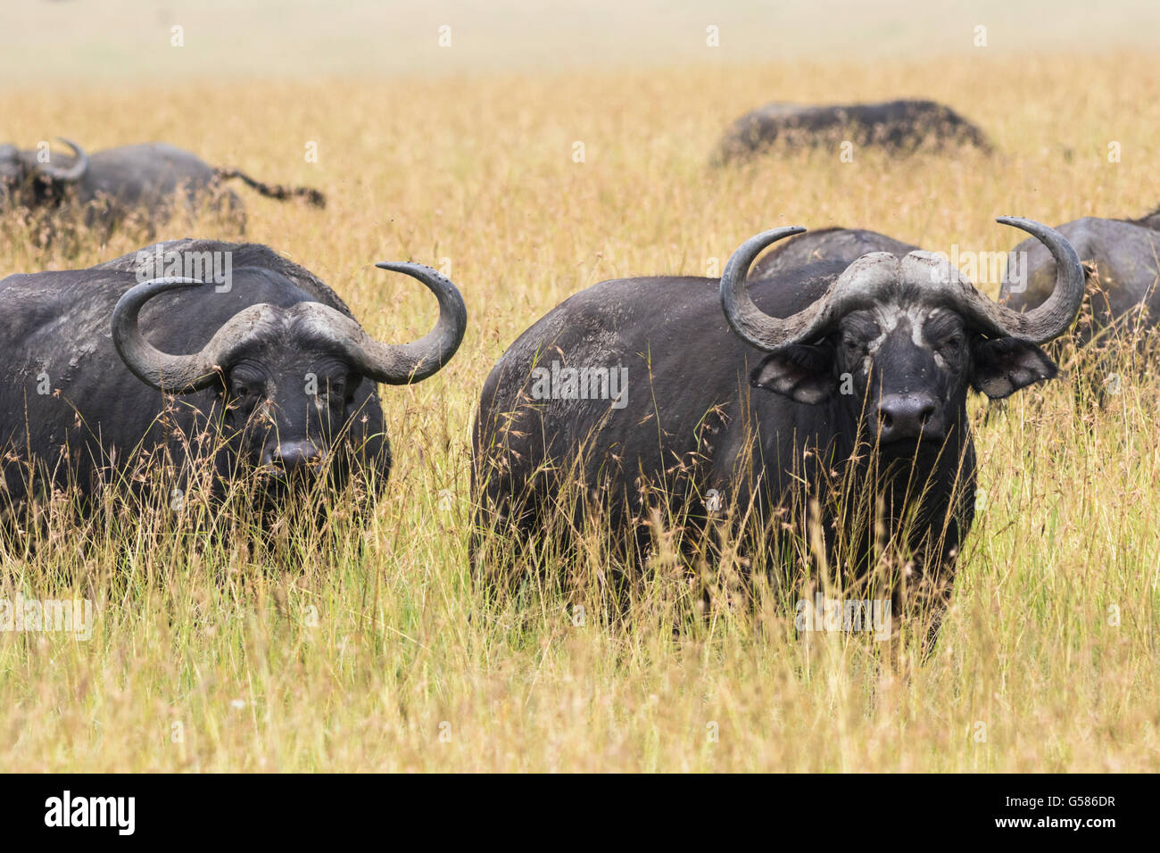 Herd of buffalos on the savanna and two are looking towards the camera and walking against the camera, Masai Mara, - Stock Image