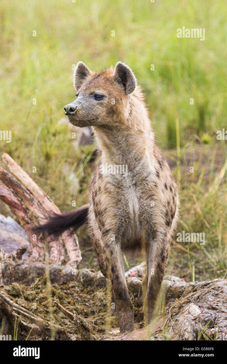 Black spotted Hyena standing besides a carcass looking after lions, Masai Mara, Kenya, Africa - Stock Image