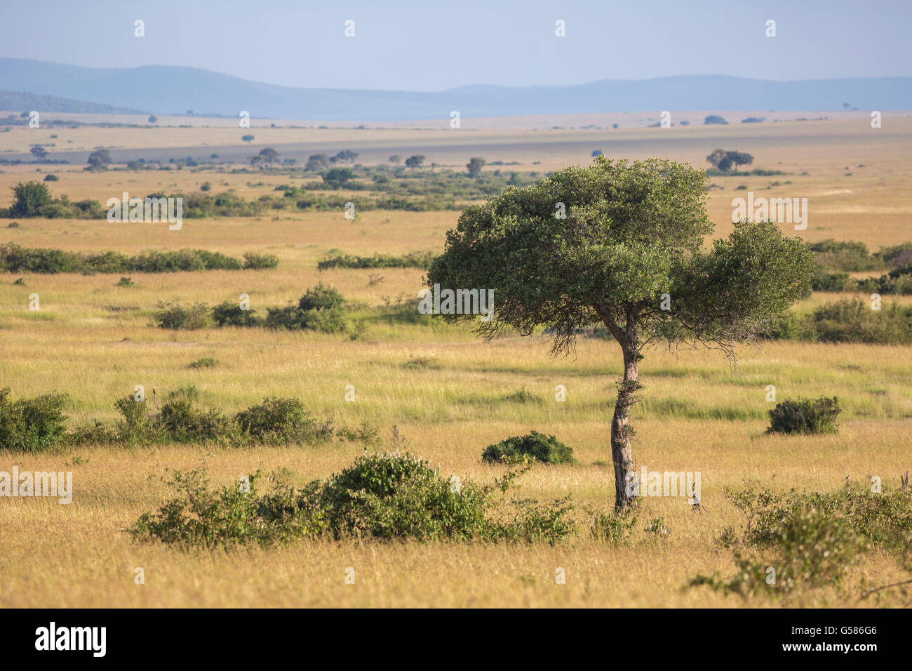 Landscape view over Masai Mara with an Acacia tree in the front, Kenya, Africa Stock Photo