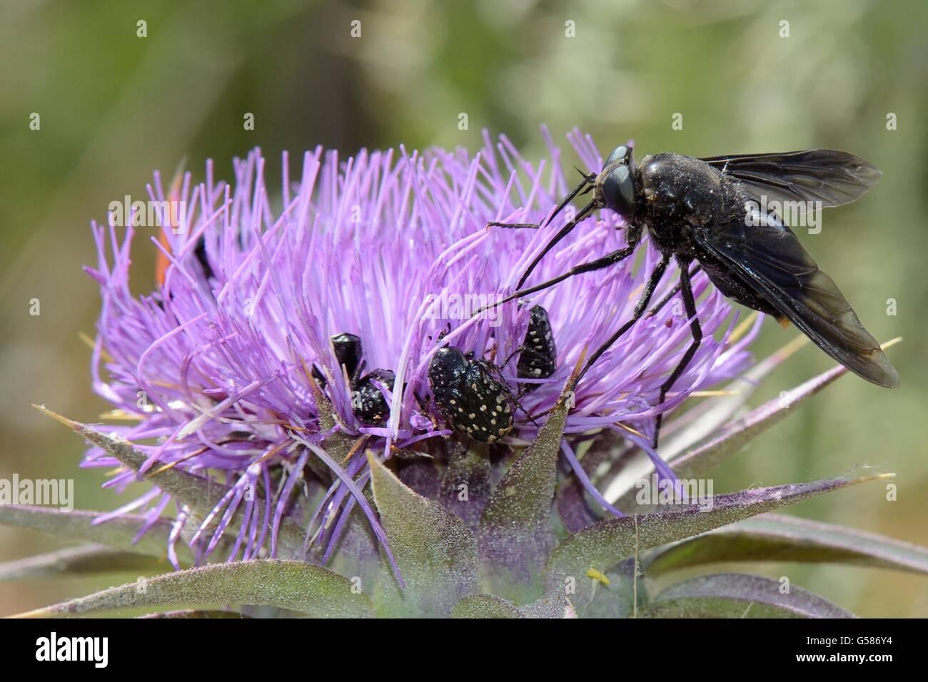 A nectar-feeding species of Horse fly (Pangonius funebris) using its long proboscis to forage on Milk thistle (Carduus - Stock Image
