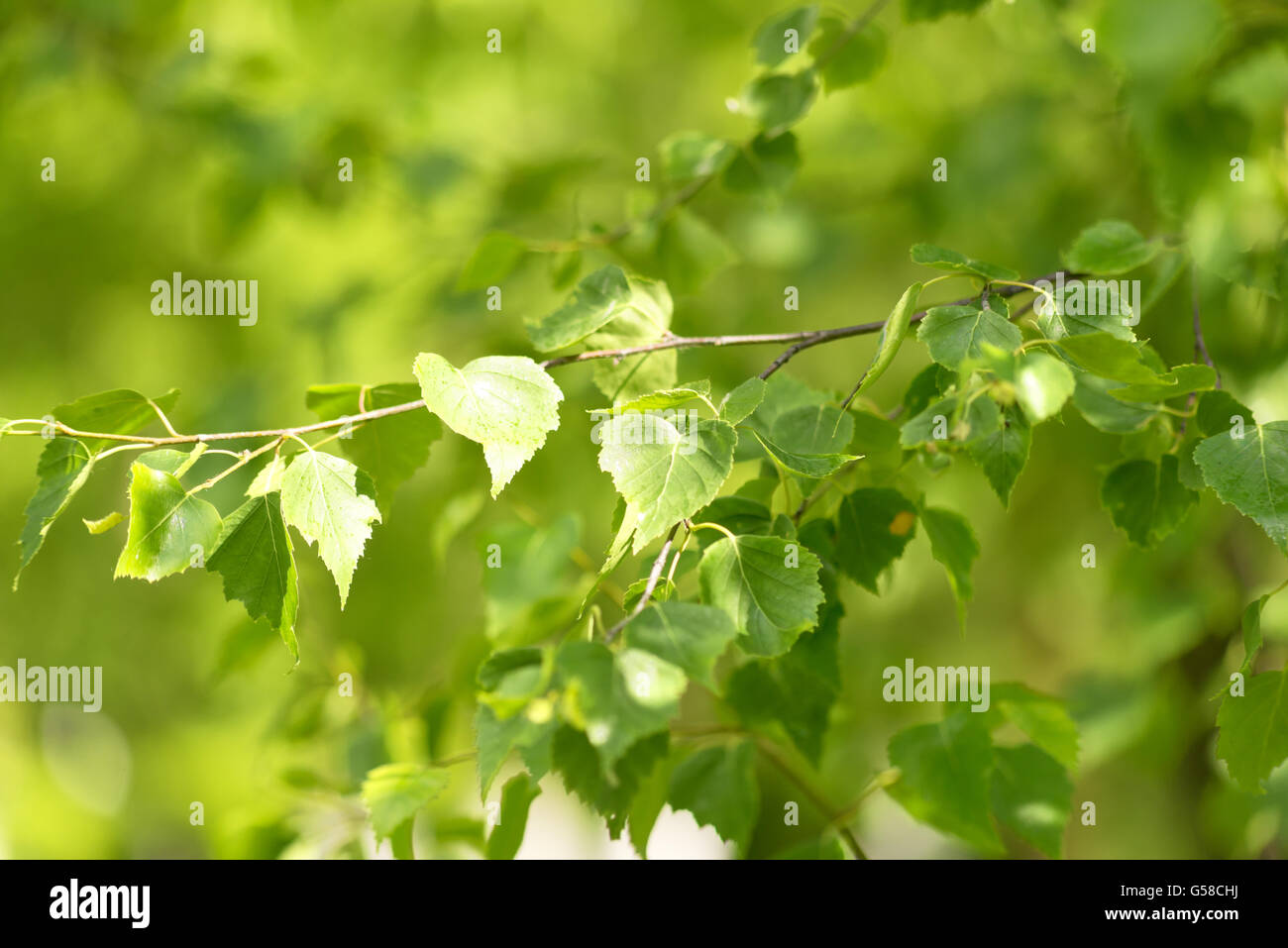 close up shot of green birch leaves - Stock Image