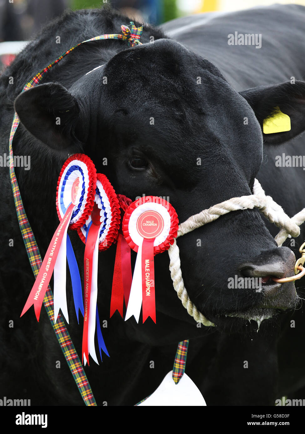 Champion Aberdeen Angus bull at the 2016 Northumberland County Show at Bywell in Northumberland, England. - Stock Image