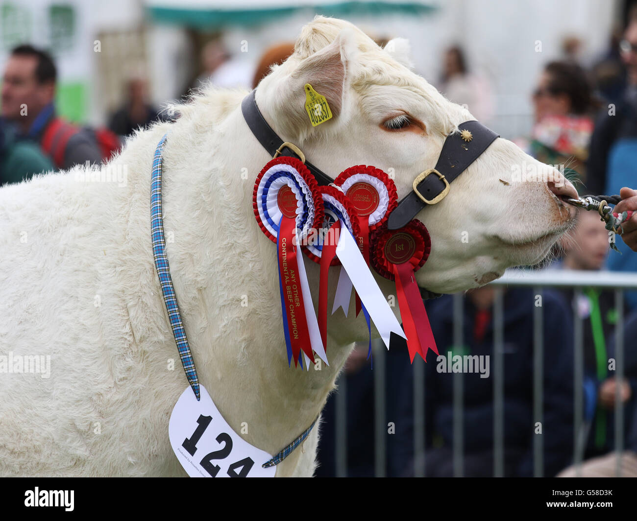 Bywell, England - May 30, 2016: Champion cow at the Northumberland County Show at Bywell in Northumberland, England. - Stock Image