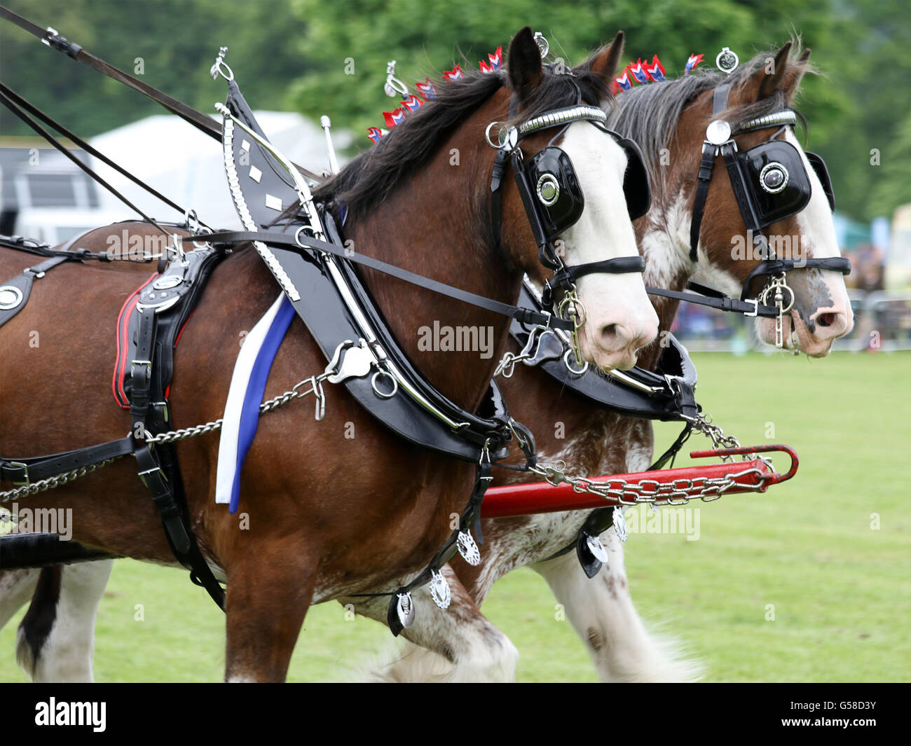 A pair of Clydesdales displaying in the main arena at the Northumberland County Agricultural Show 2016 - Stock Image