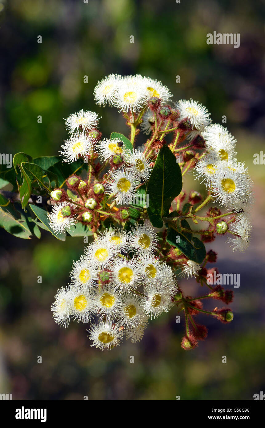 Flowers of the australian bush stock photos flowers of the cluster of white and yellow gumtree angophora hispida flowers in the australian bush mightylinksfo
