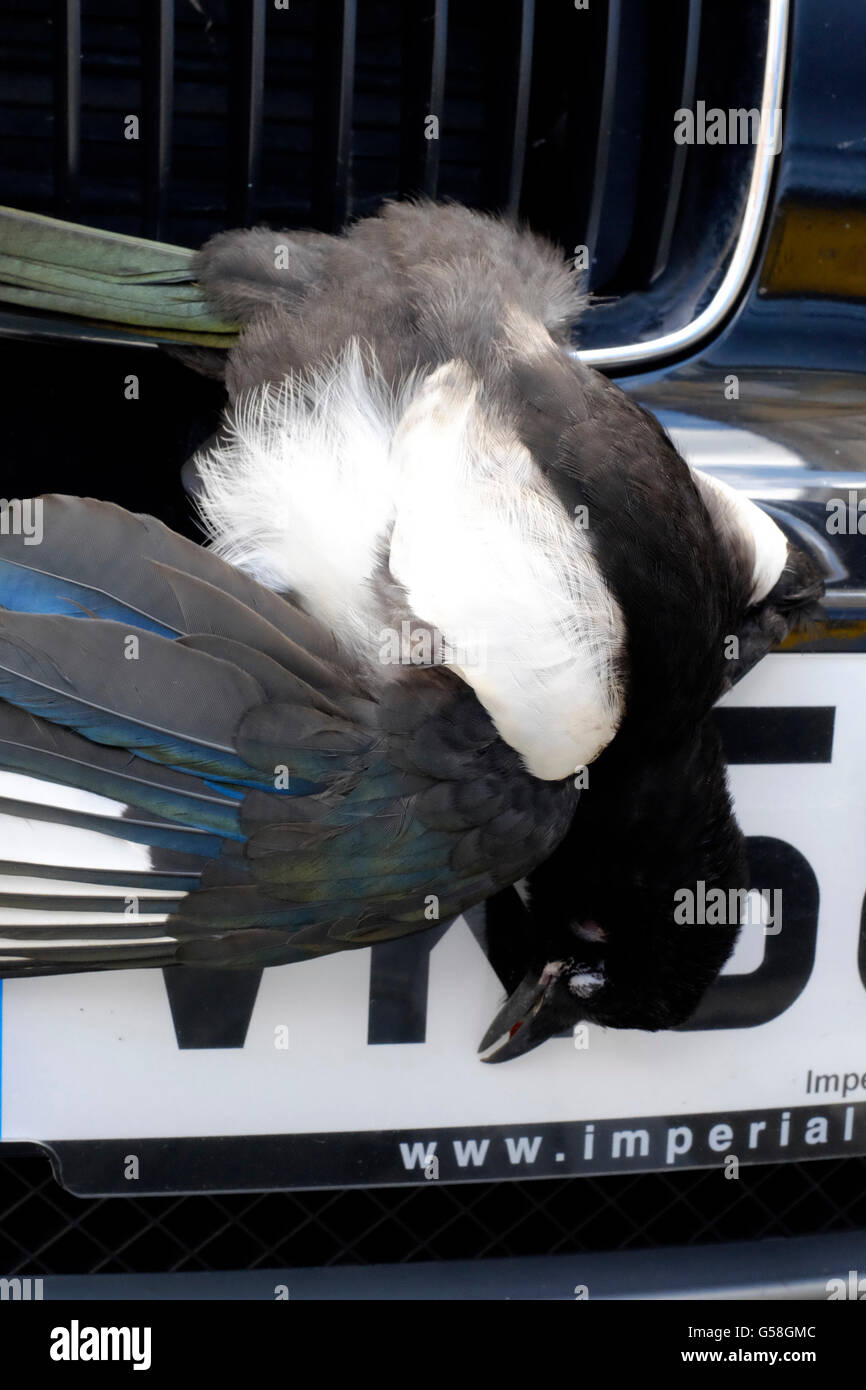 dead bird firmly wedged in front grille of a car after being struck at speed on a motorway england uk - Stock Image