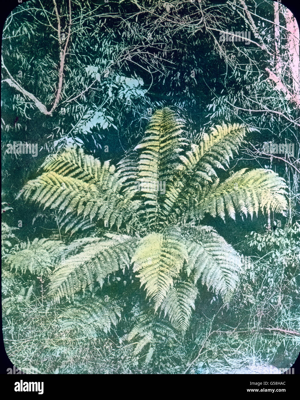 Riesenfarn in der Pflanzenwelt des Dschungels. India, Asia, travel, botany, jungle, plant, brake, fern, 1910s, 20th - Stock Image