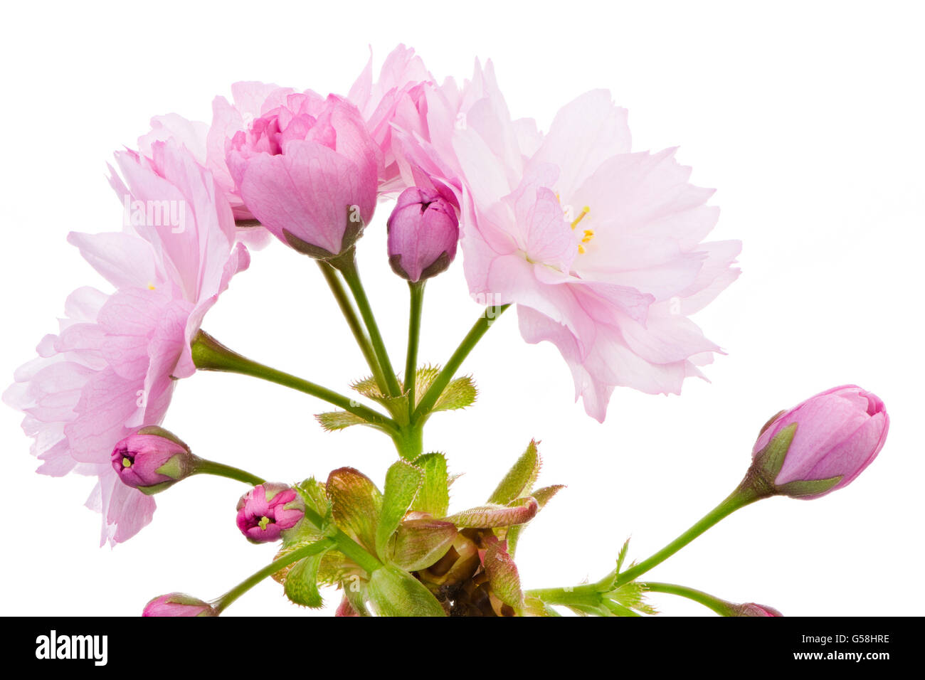 Macro of an isolated twig with pink cherry blossoms - Stock Image