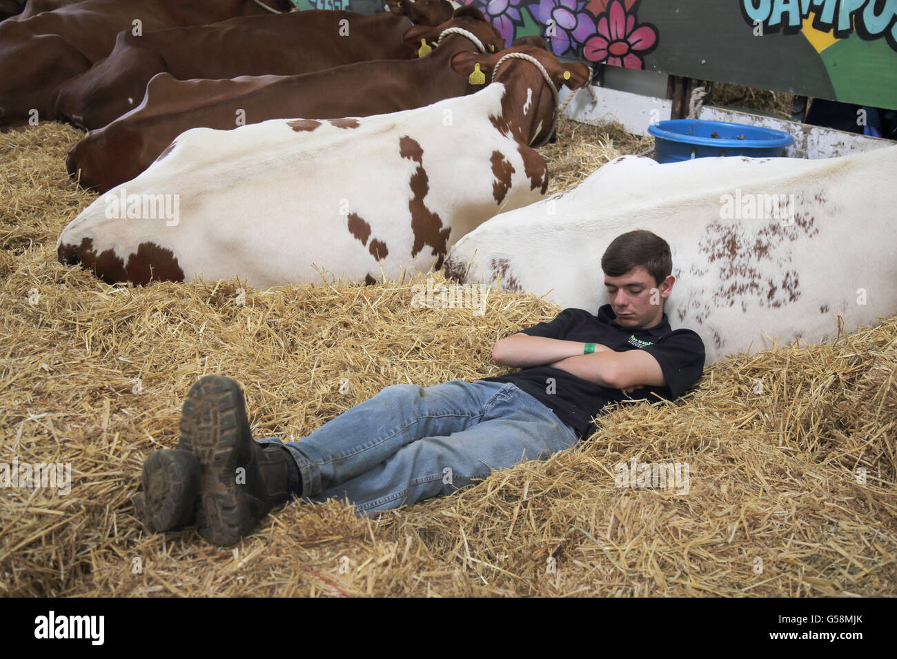 asleep among the cows at the south of england show ardingly - Stock Image