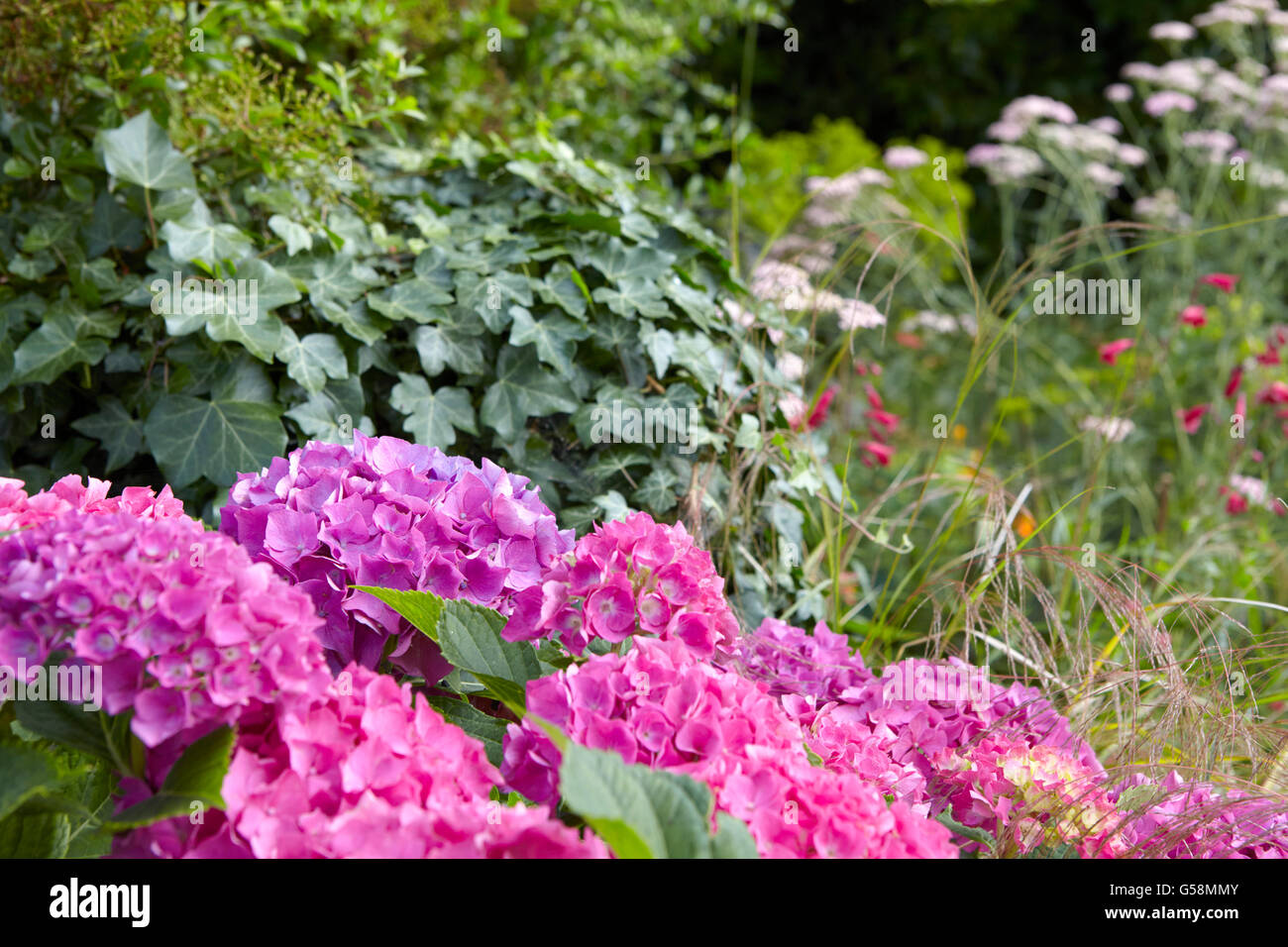 Hydrangeas in an English country garden - Stock Image