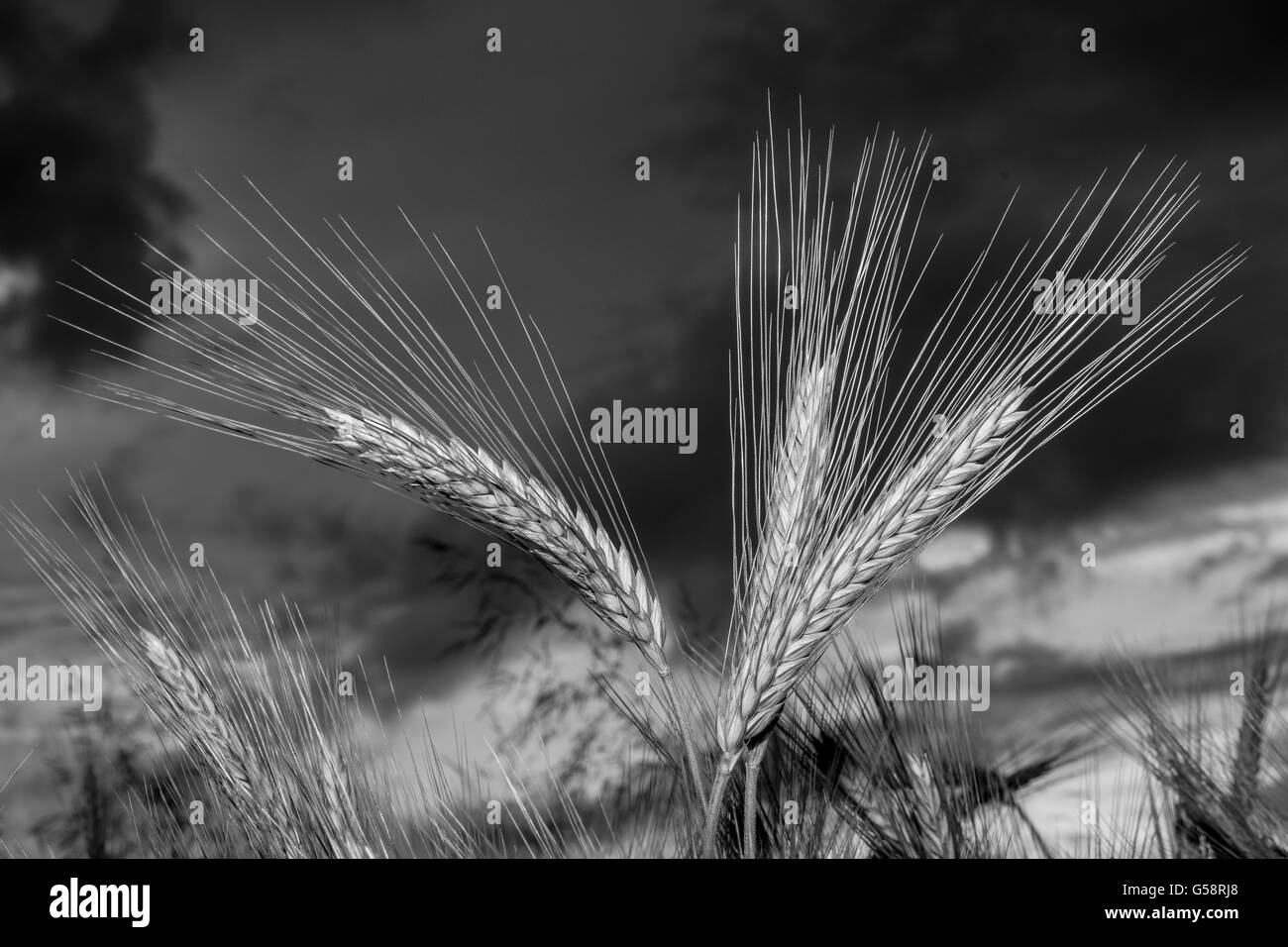 Barley in the field, closeup, selective focus on front stems, dark background sky, black and white - Stock Image