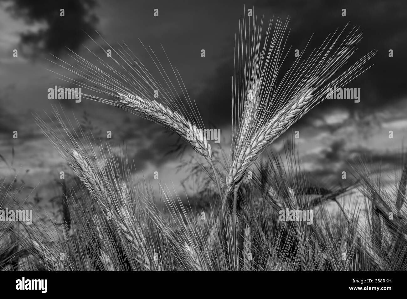Barley in the field, closeup, selective focus on front stems, dark background sky, black and white Stock Photo