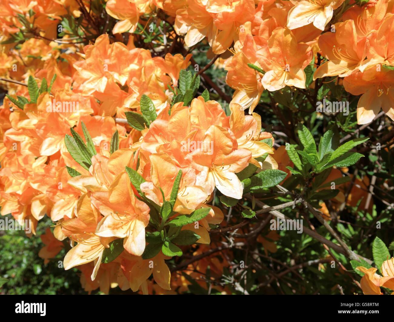 Deciduous Azalea Golden Lights In Flower   Stock Image