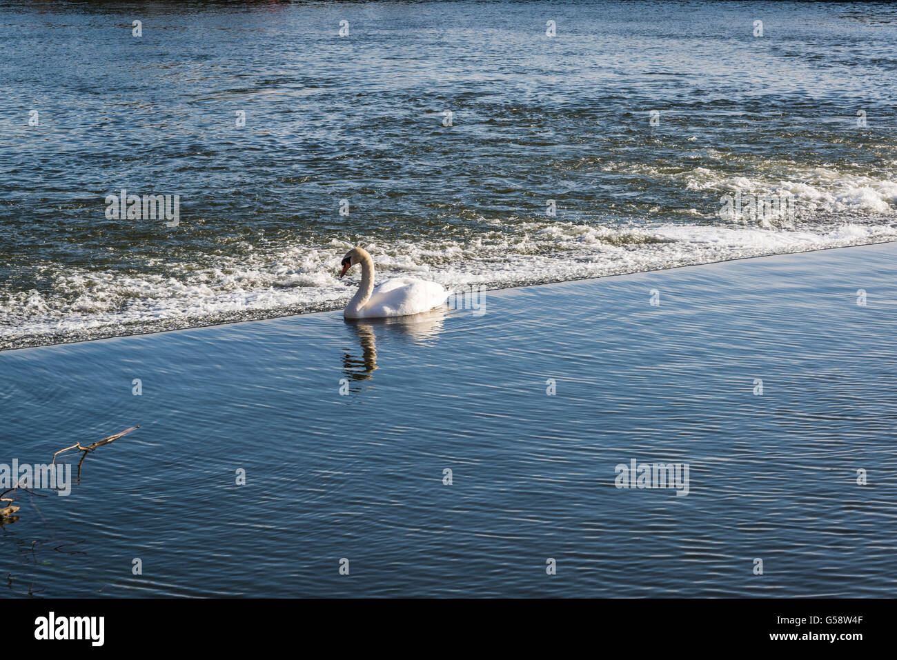 Swan at the edge of weir, River Exe, Exeter, Devon, England - Stock Image