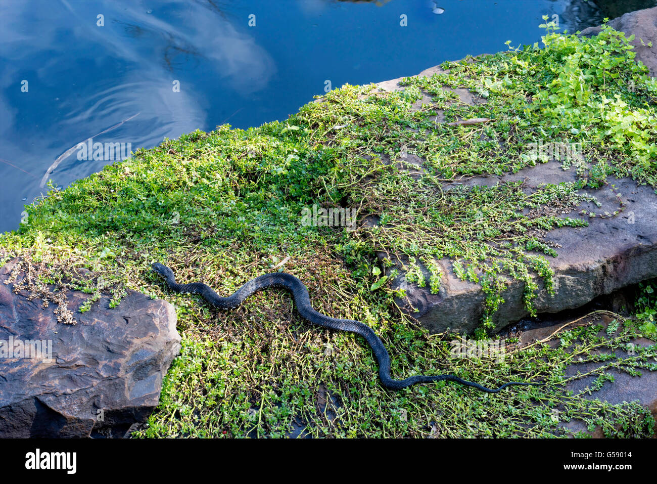 Large black snake slithering towards water. Boulder and grass foreground - Stock Image