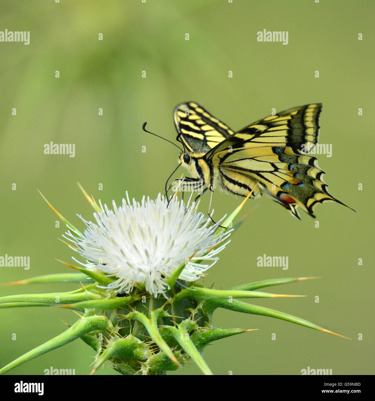 Swallowtail butterfly on thorn - Stock Image