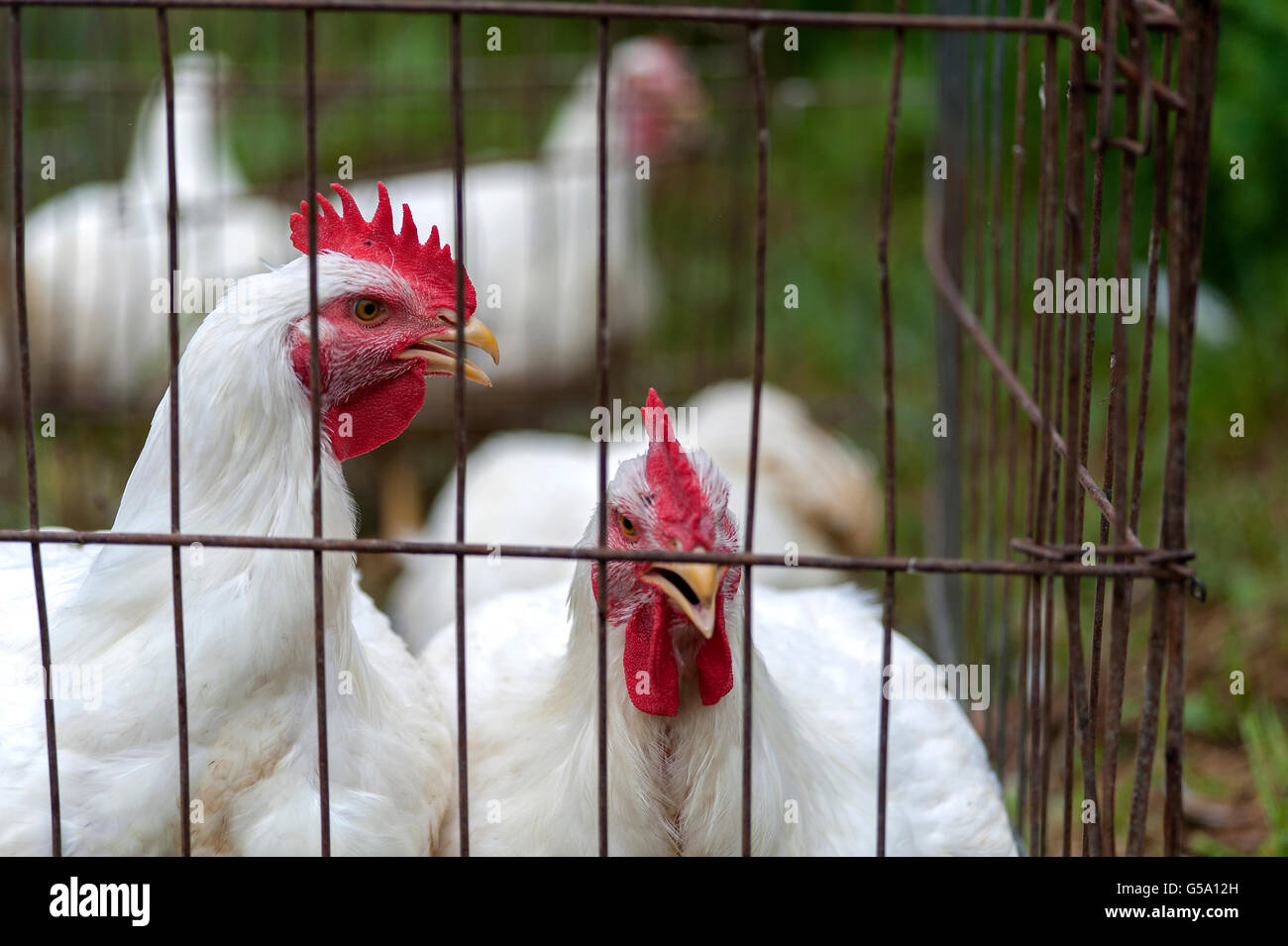white hens in wire cage - Stock Image