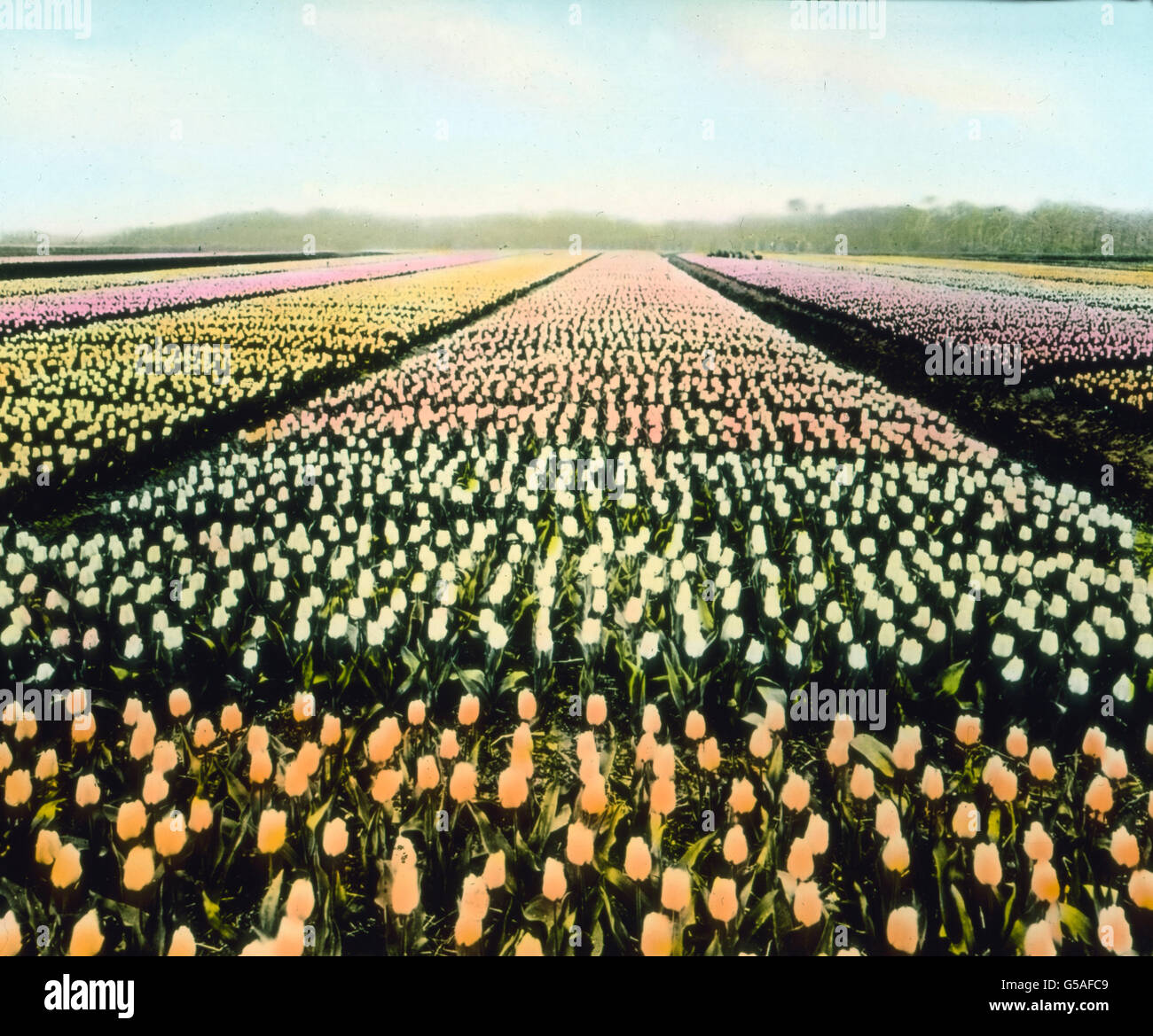 Netherlands, 1910s, 1920s, 20th century, archive, Carl Simon, travel, history, historical, export, flowers, tulip, - Stock Image