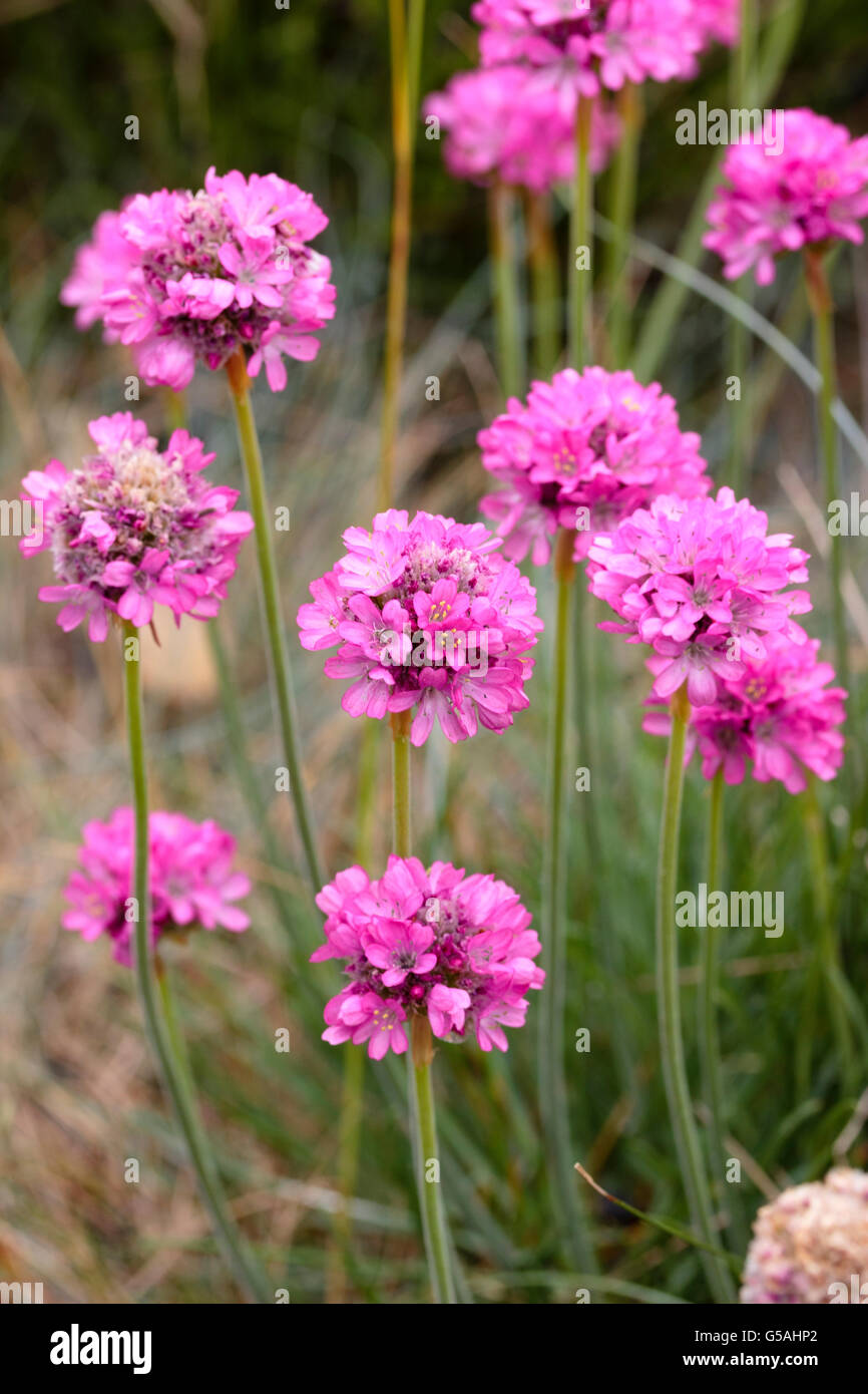 Pink flower heads of the thrift armeria maritima a common coastal pink flower heads of the thrift armeria maritima a common coastal plant in the uk mightylinksfo