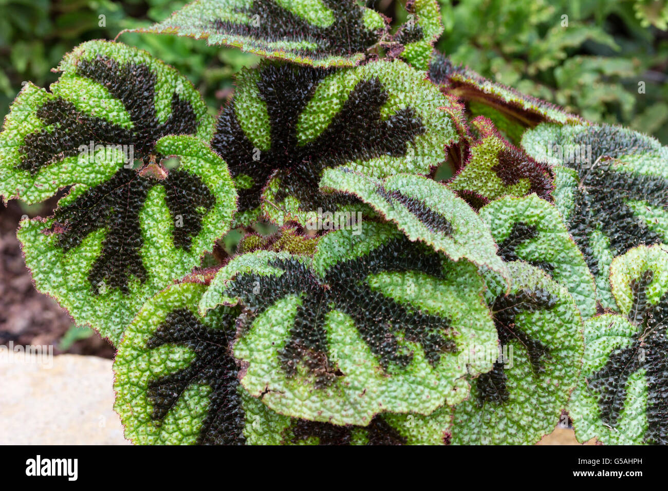 Black markings against pustular green  foliage of the iron cross begonia, Begonia masoniana - Stock Image