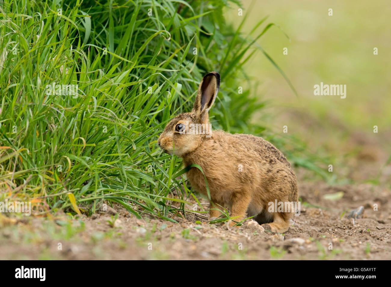 Brown Hare(Lepus europaeus) on farmland. Stock Photo