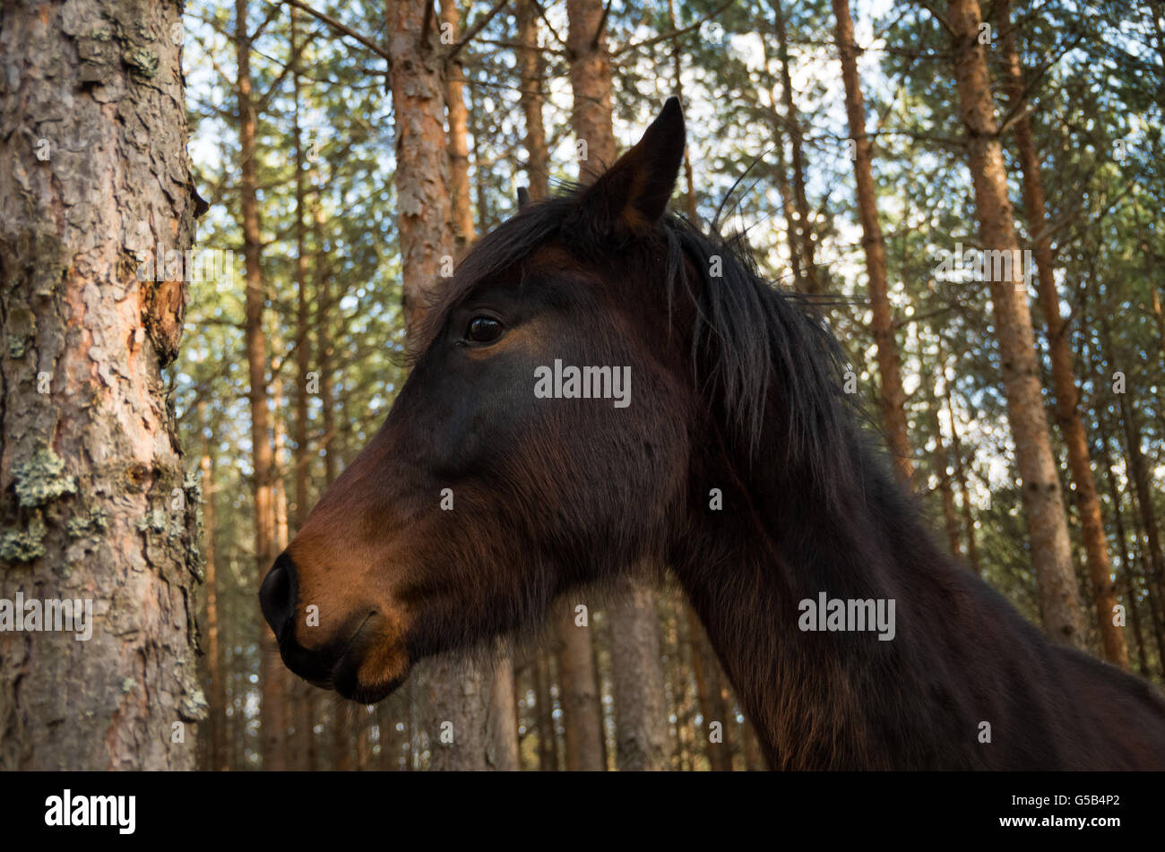 Young horse in a pine forest looking anxious, from a low perspective - Stock Image