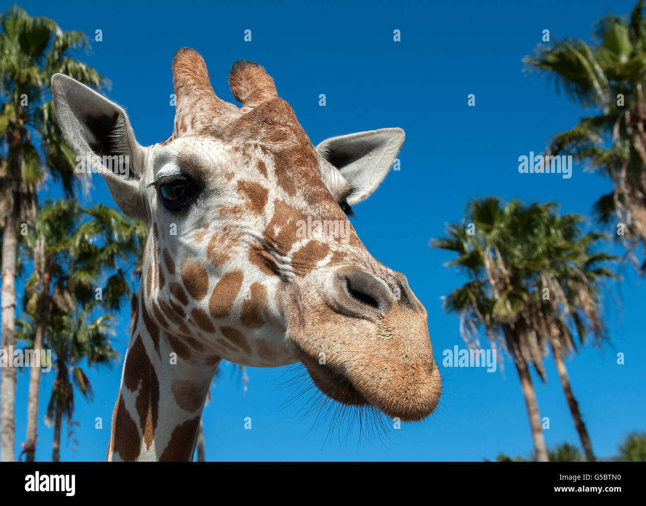 Close up of Giraffe head - Stock Image