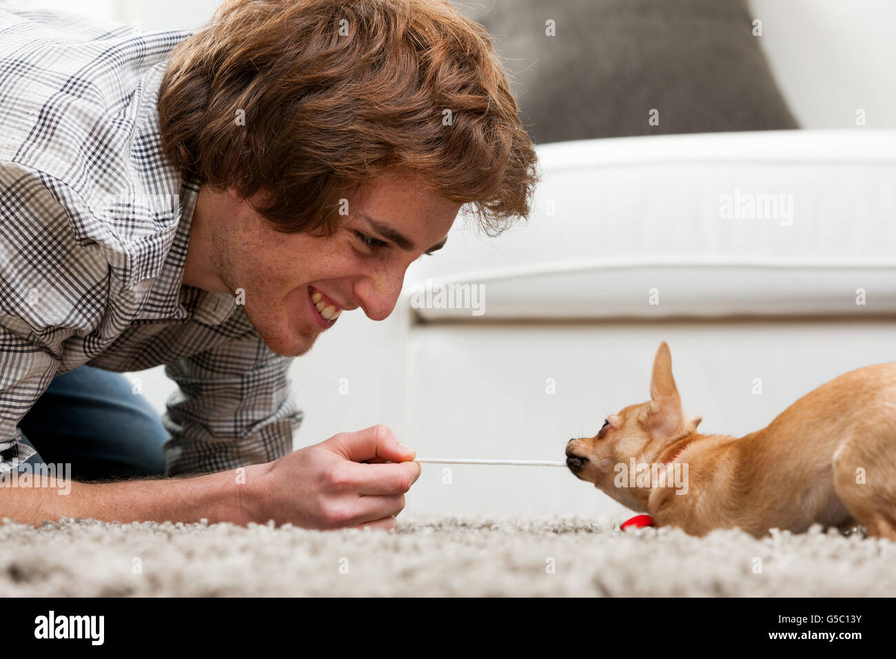 Adorable little brown chihuahua having a tug of war with a handsome smiling young man crouching on a rug pulling - Stock Image