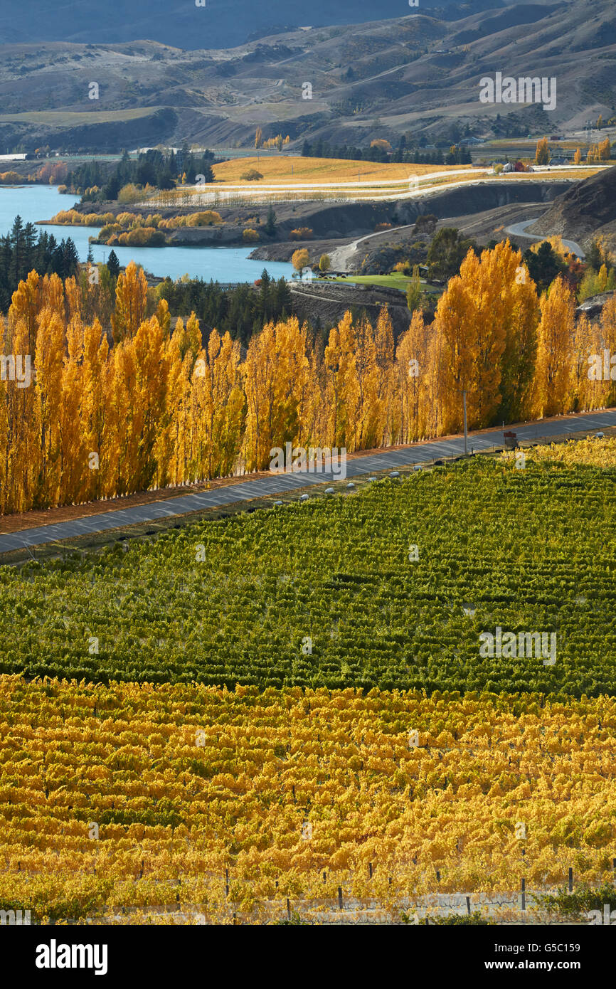 Mt Difficulty Vineyard and poplar trees in autumn, Bannockburn, Central Otago, South Island, New Zealand - Stock Image