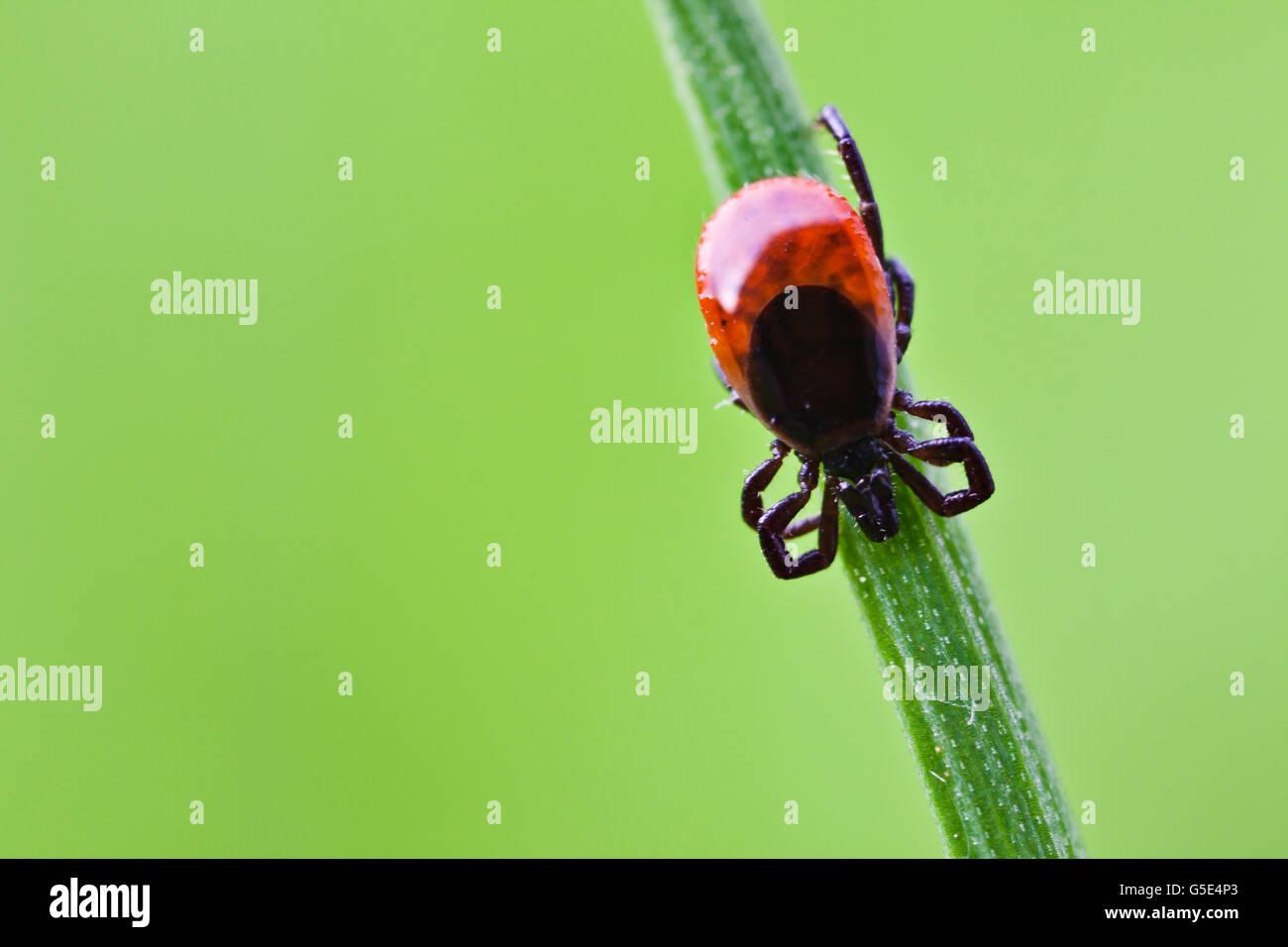 Castor Bean Tick (Ixodes ricinus), on a blade of grass - Stock Image