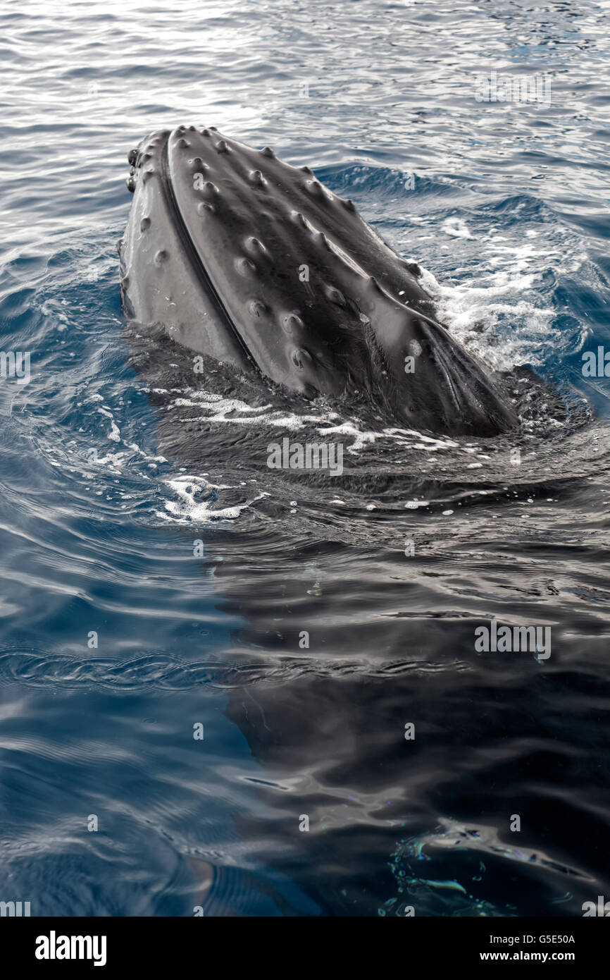 Humpback whale (Megaptera novaeangliae), species-specific Spy-hopping, Queensland, Pacific, Australia - Stock Image