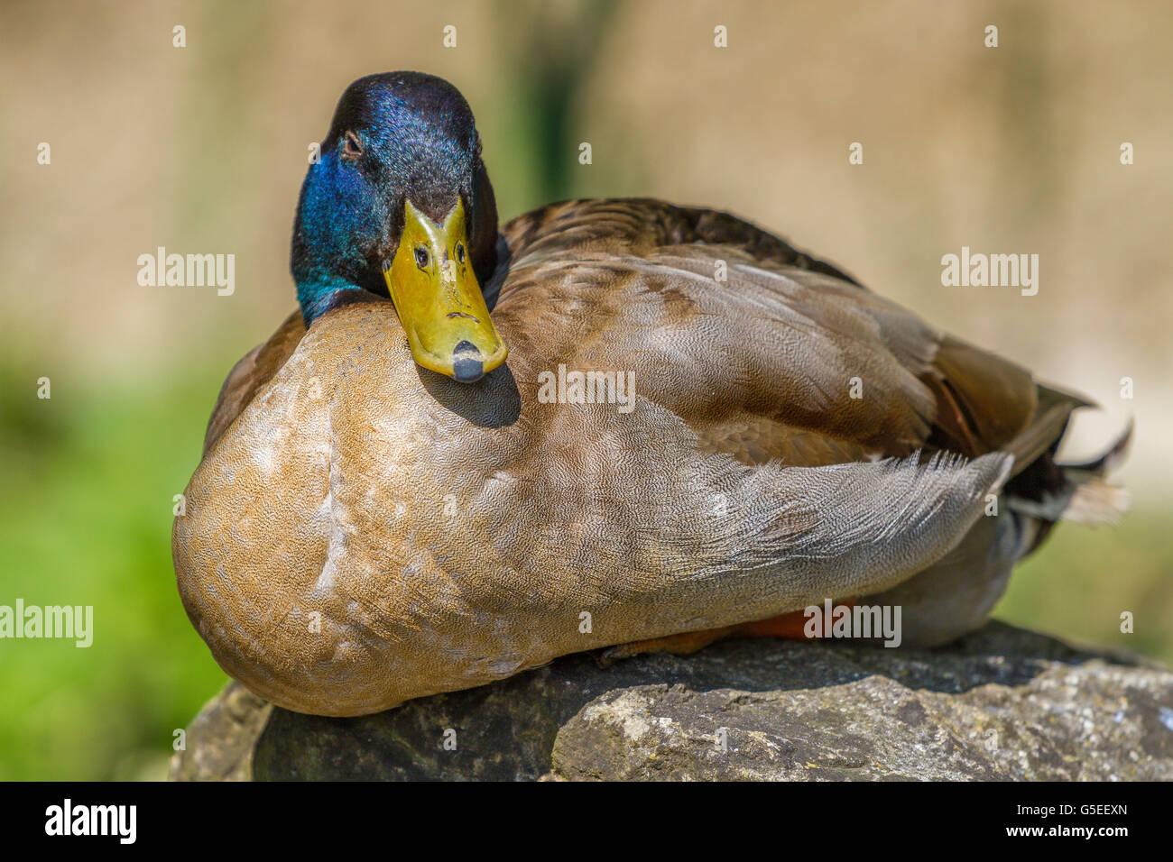Khaki Campbell Duck At Slimbridge Stock Photo 106654541 Alamy