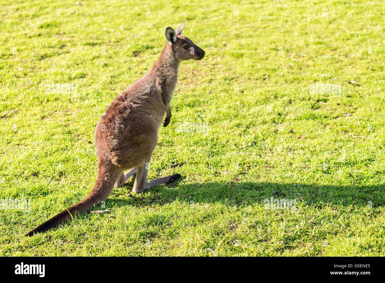 Australian kangaroo sitting on the ground at sunset - Stock Image