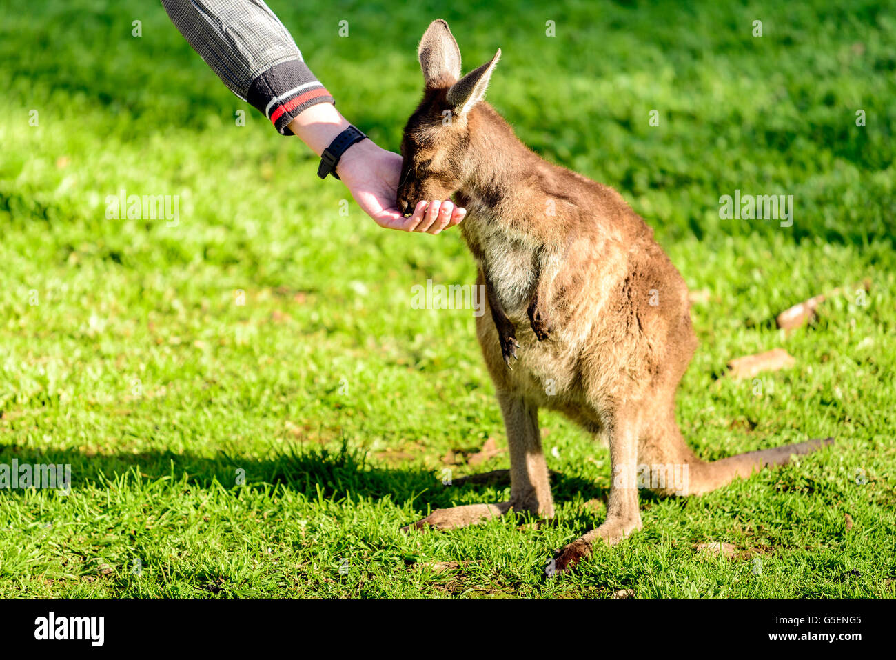 Boy feeding baby kangaroo from hand - Stock Image