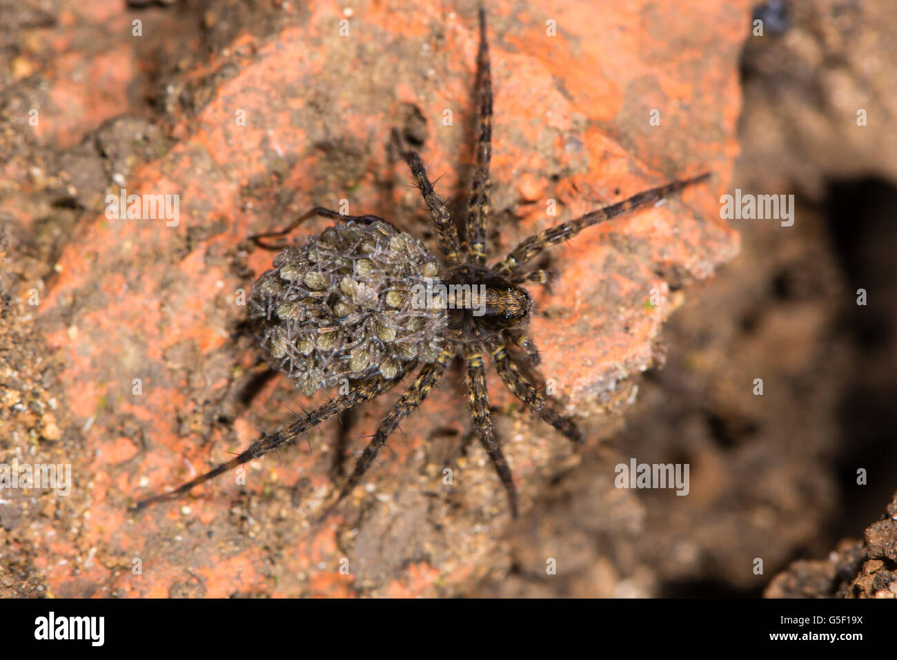 Wolf spider (Pardosa sp.) with spiderlings. Female spider carrying young on abdomen, in the family Lycosidae - Stock Image