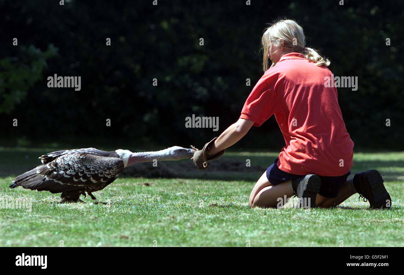 Vulture Escape from Zoo - Stock Image