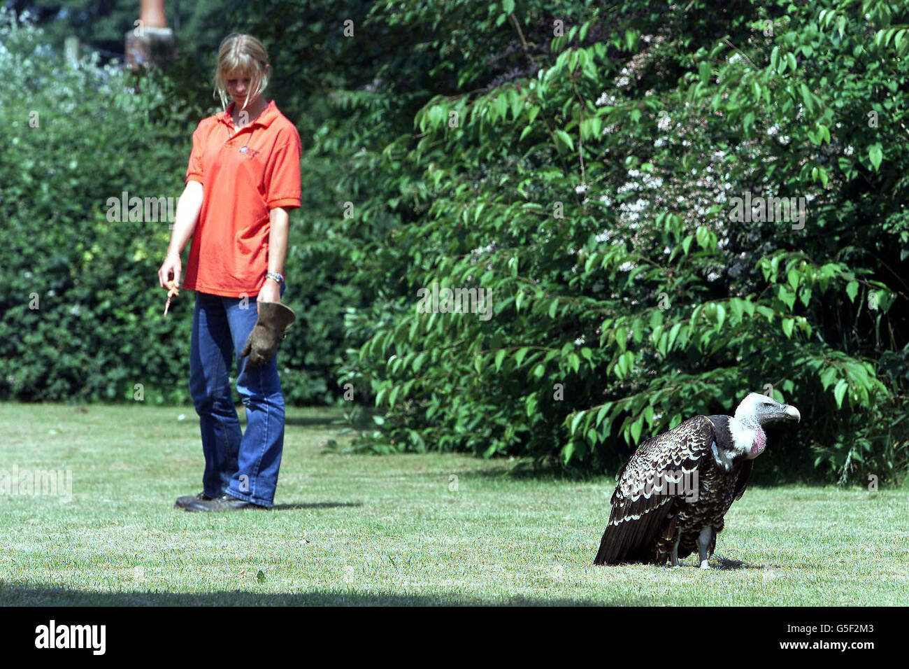 Vulture Escapes from Zoo - Stock Image