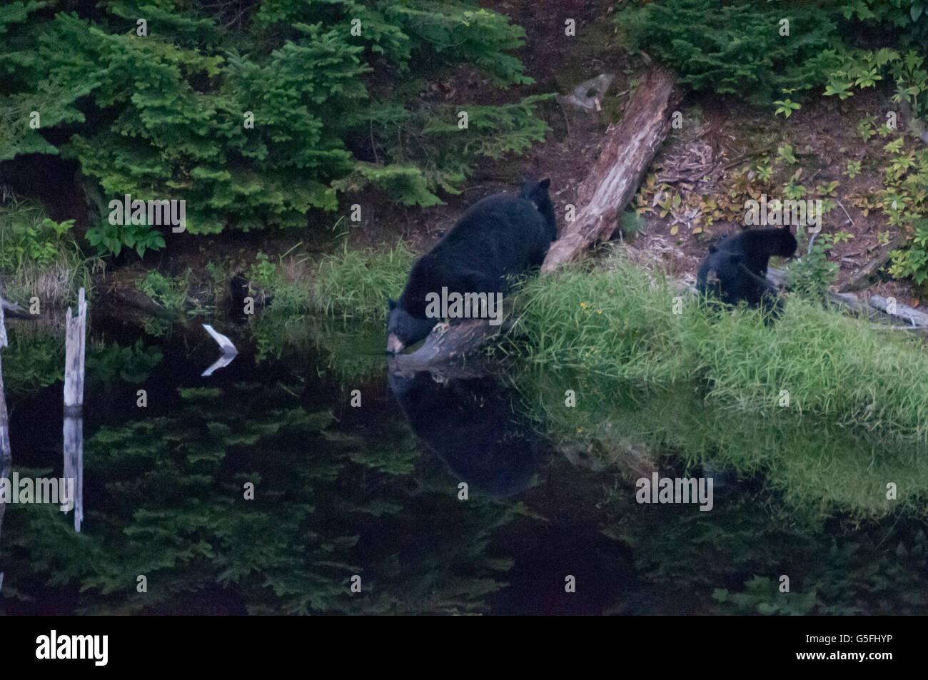 North America, Canada, Quèbec, Duchesnay Ecotourist Resort, Black bear viewing - Stock Image