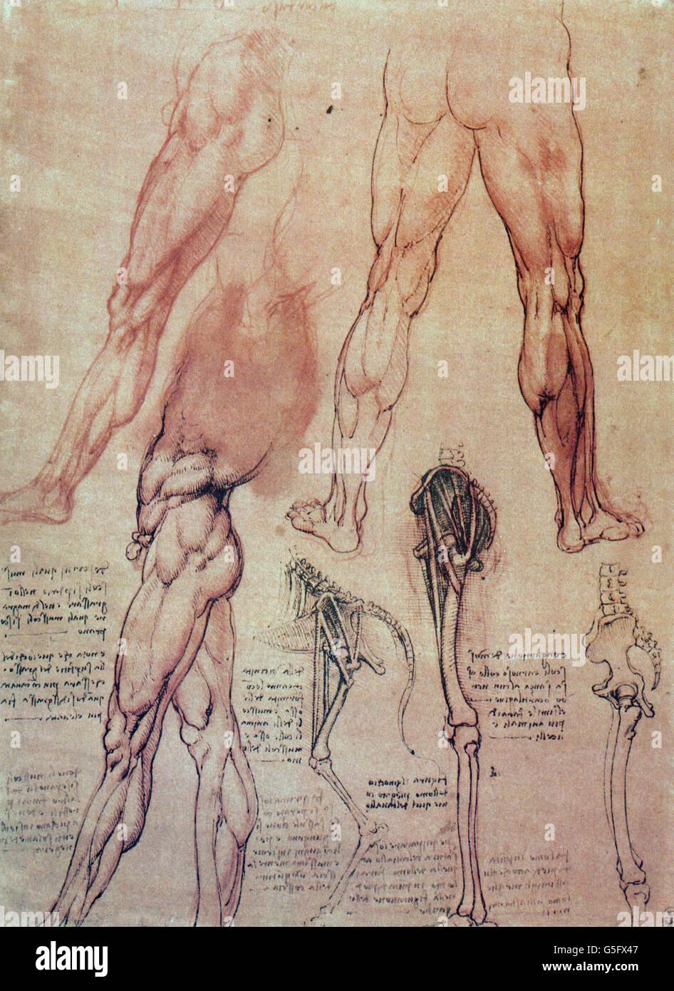Leonardo da Vinci, legs of a man and of a horse, circa 1506 Stock ...