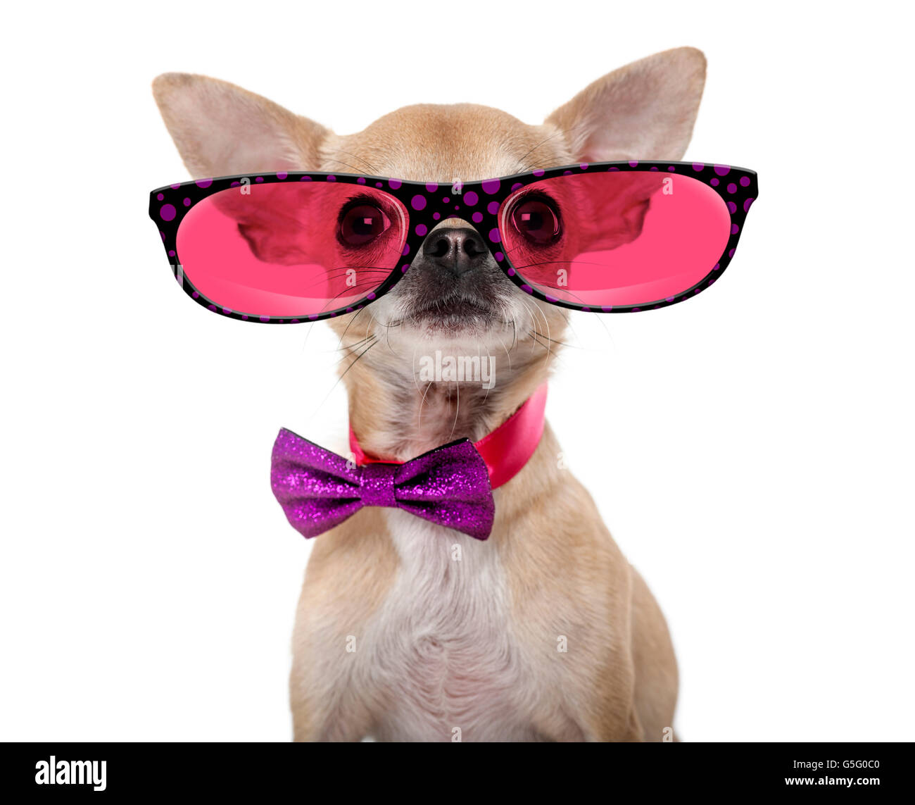 Chihuahua wearing a bow tie and glasses in front of a white background - Stock Image