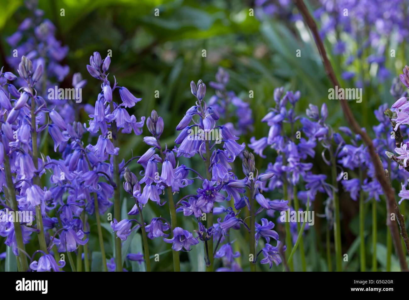 Bluebells aka Hyacinthoides, Endymion non-scriptus or Scilla non-scripta is a bulbous perennial plant Stock Photo
