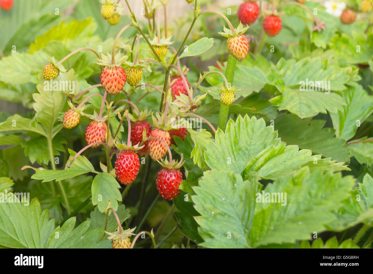 Red and ripe strawberry grows on background green sheet - Stock Image