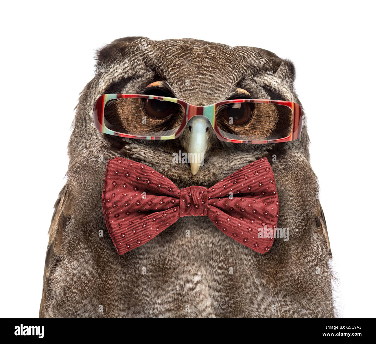 Close-up of a Verreaux's eagle-owl - Bubo lacteus (3 years old) wearing glasses and a bow tie in front of a - Stock Image