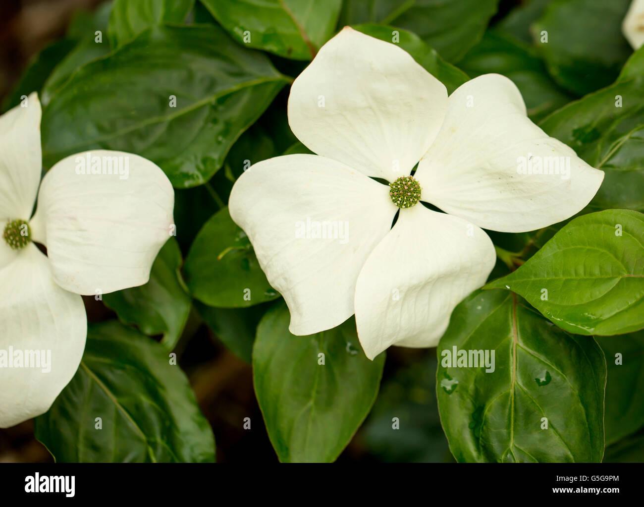 White Flower Cornus Venus Is A White Flower That Grows In Gardens