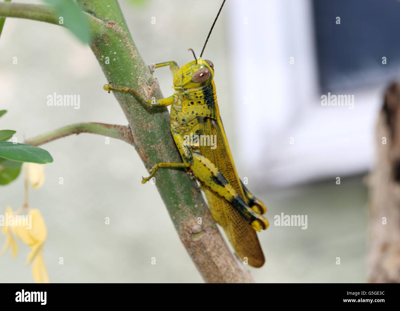 Green locust resting on a branch - Stock Image