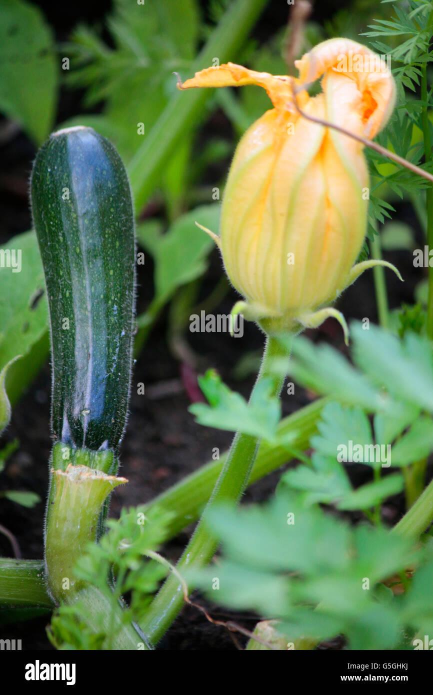 Zucchini, Garten, Berlin. - Stock Image