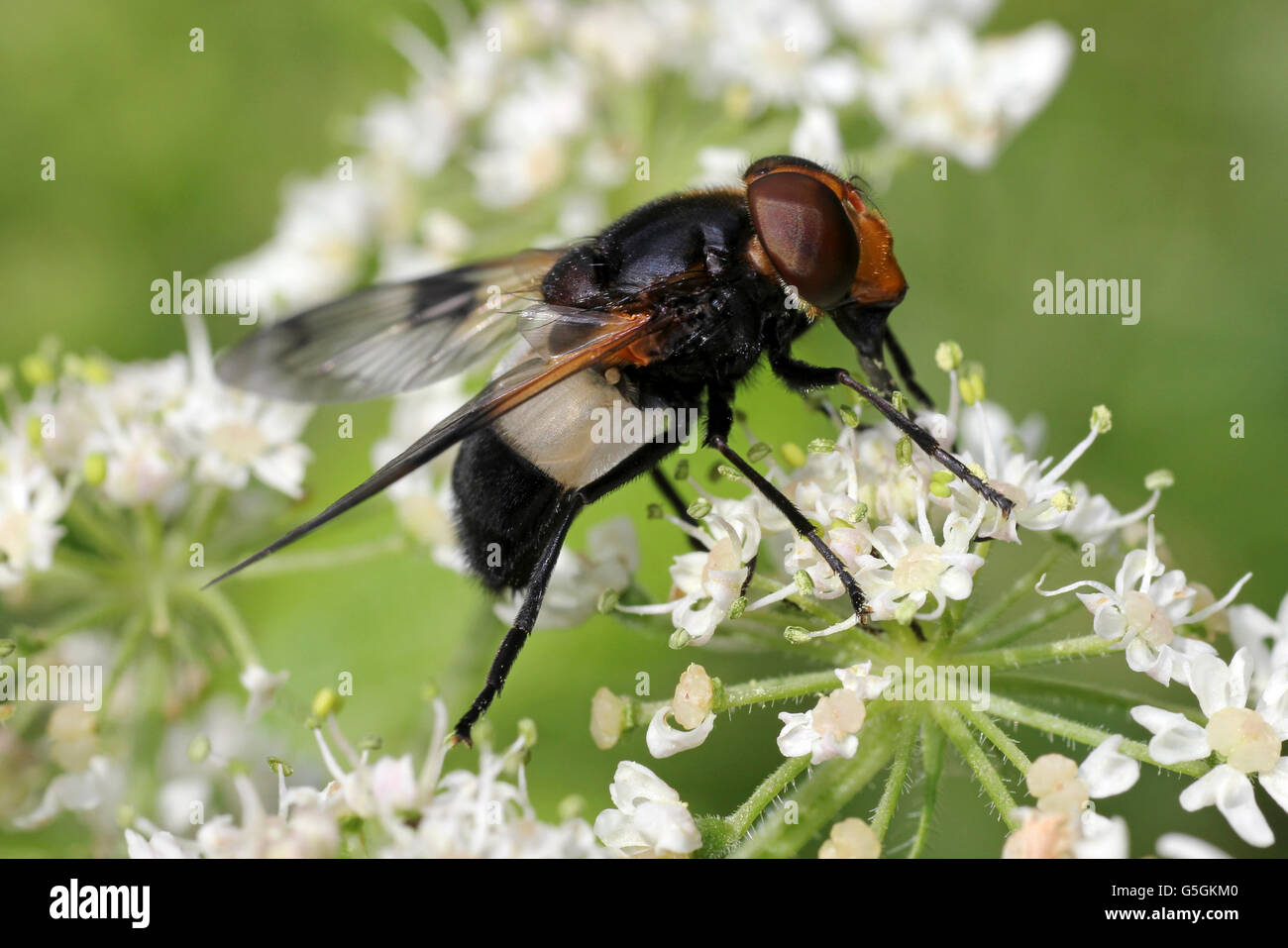 Large Pied-hoverfly Volucella pellucens - Stock Image
