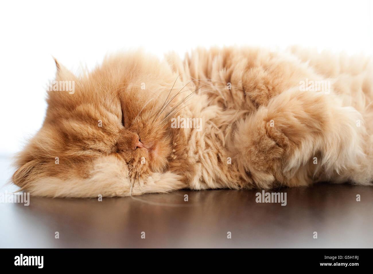 Persian cat sleeping on table - Stock Image
