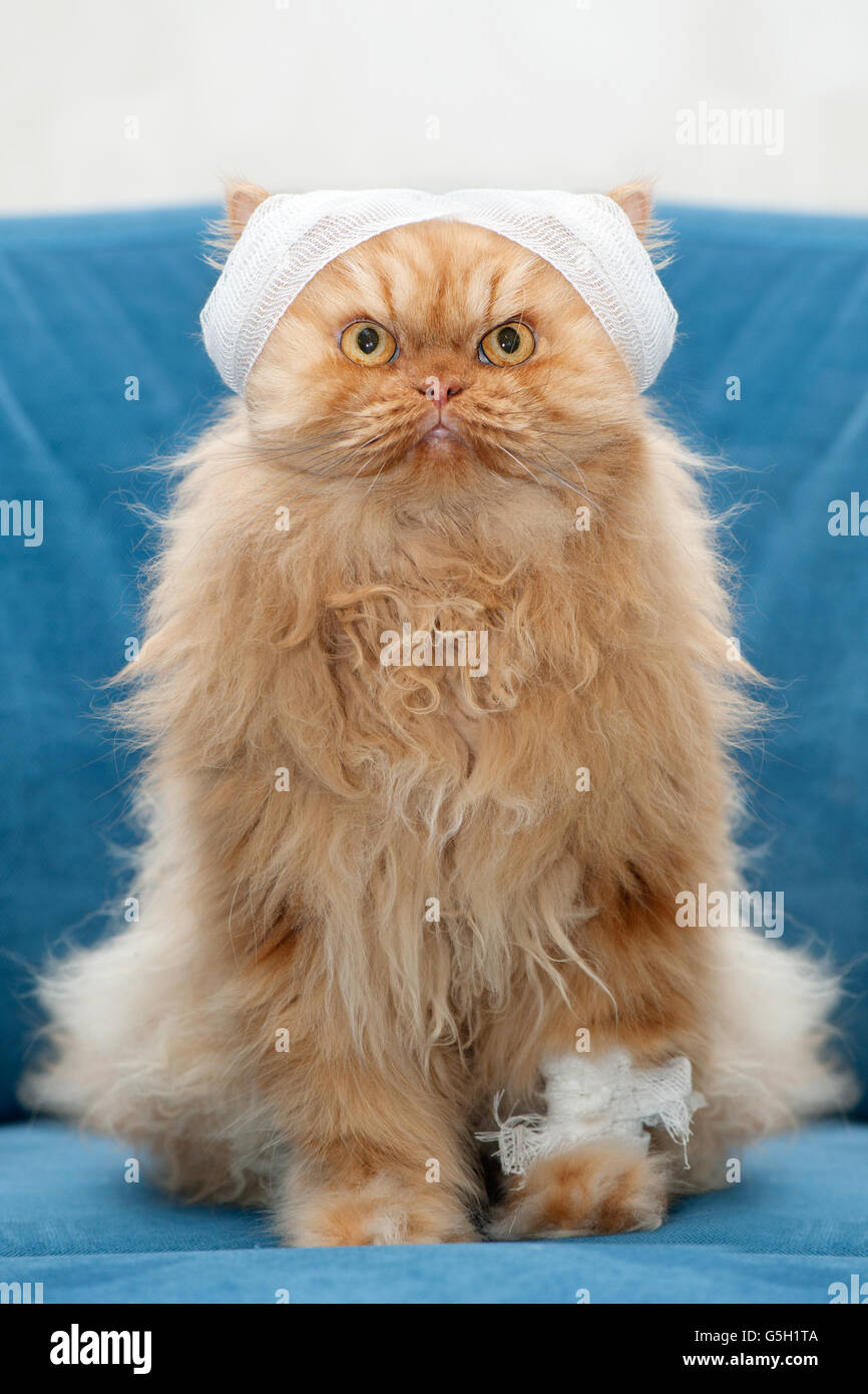 Persian cat with bandages sitting on couch - Stock Image